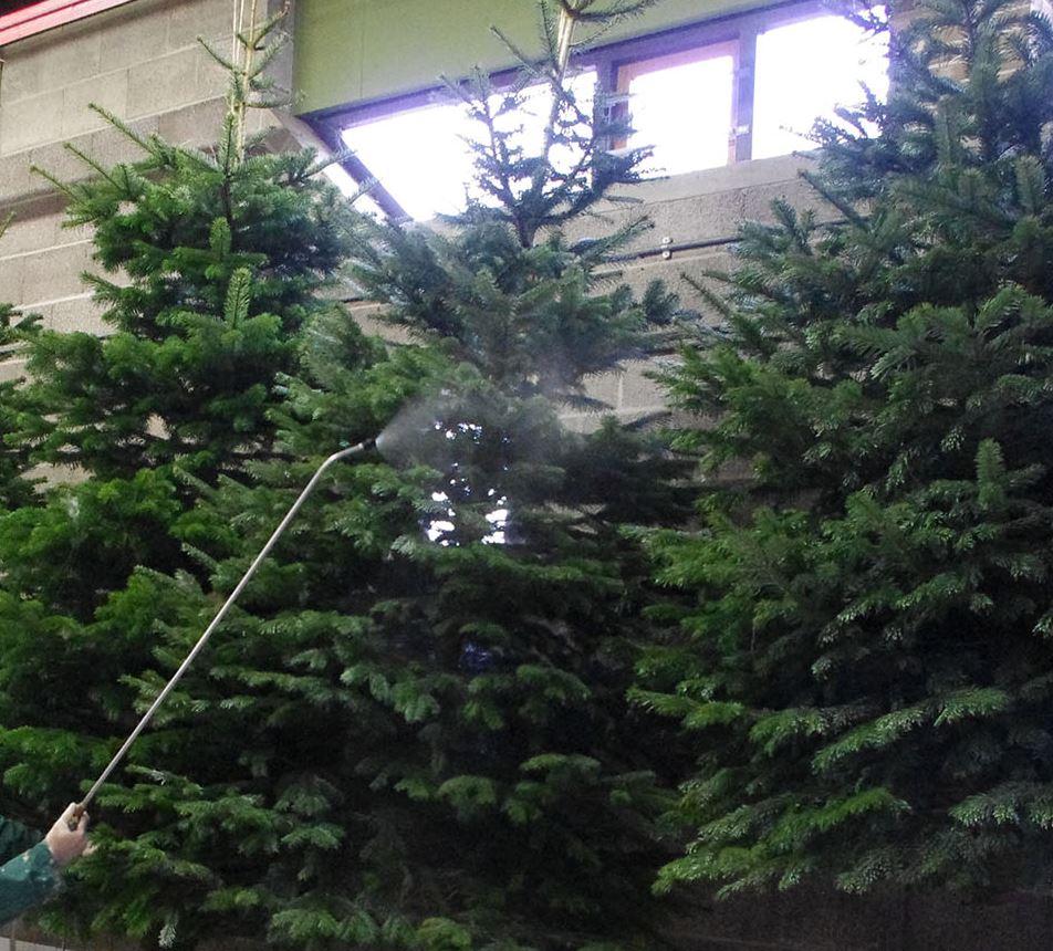 Dennenboom In Pot Geïmpregneerd